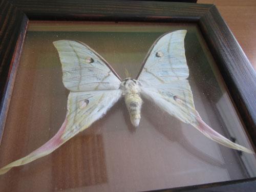 Засушенная тропическая бабочка