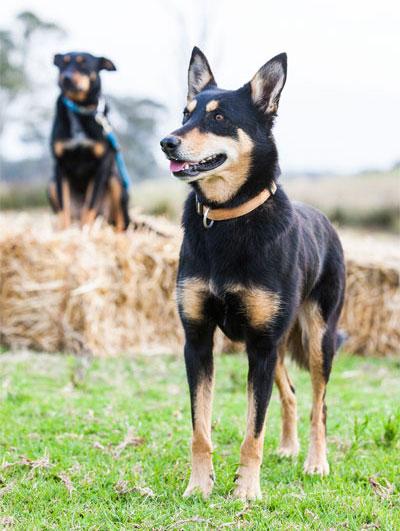Обучение собак пастушьим навыкам