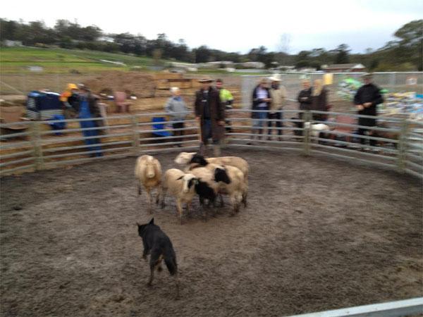Загон для овец для обучения собак