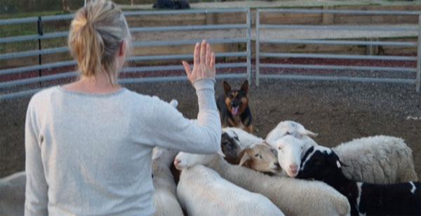 Обучение пастушьим навыкам