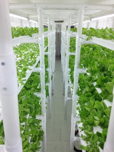 Зелень, выращиваемая внутри контейнера