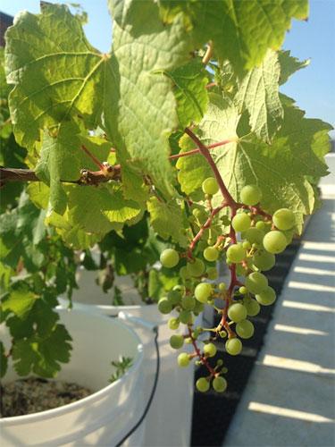 Винограду нужно солнце