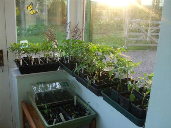 Рассада для выращивания на подоконнике зимой
