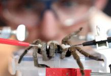 Разведение ядовитых пауков для получения ценного фармакологического сырья