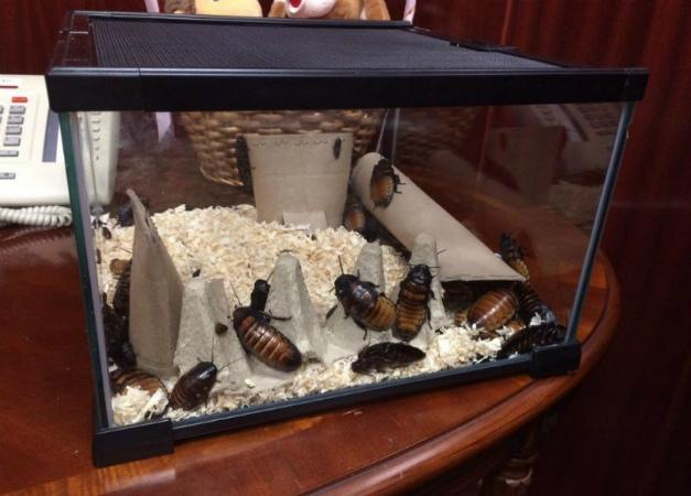 Разведение домашних тараканов на корм домашним животным