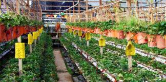 Голландская технология выращивания овощей в теплицах