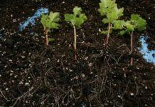 Выращивание саженцев смородины