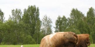 Обычные коровы для нас стали экзотикой
