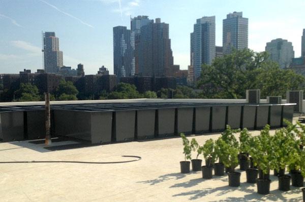 Виноградник на крыше многоэтажного дома